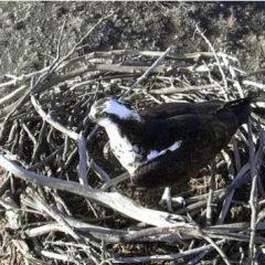 Webcam Installed on Lake Capote Osprey Nest