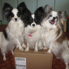 Durango Loves Dogs!! Nancy's Papillons are learning new tricks!
