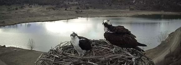 Ospreys are back in the nest at Lake Capote!
