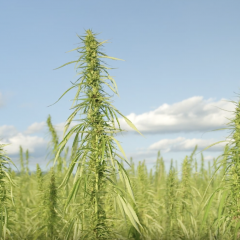 Hemp Farmer Wants More Markets for Miracle Plant