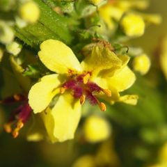 The Magic of Mullein: Cowboy TP & More!