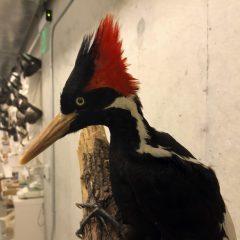 U.S. says ivory-billed woodpecker, 22 other species extinct